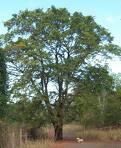 Pohon Walikukun